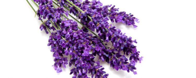 Lavender – A Most Versatile Essential Oil
